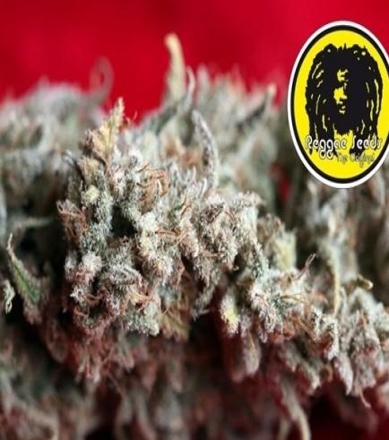 O' Haze Red (Reggae Seeds)