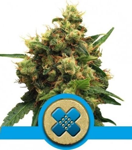 Painkiller XL (Royal Queen Seeds)