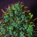 Expert Haze (Expert Seeds)