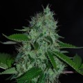 White Widow (Expert Seeds)