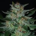 Blue Funk (Expert Seeds)