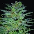 OG Kush (Expert Seeds)