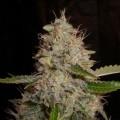 White Widow x Critical (Expert Seeds)