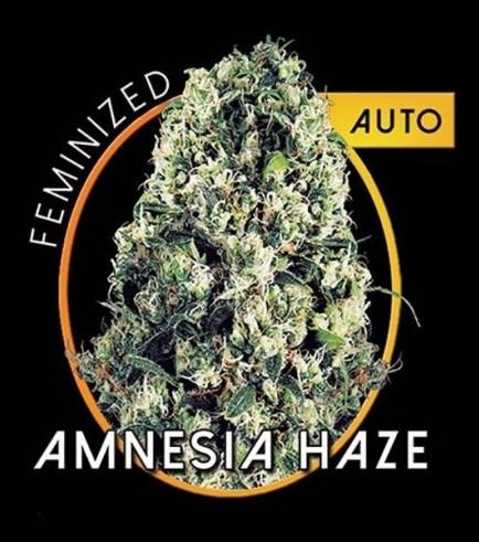 Amnesia Haze Autoflowering (Vision Seeds)