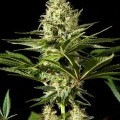Black Bomb (Philosopher Seeds)