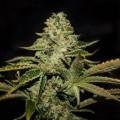 Darkstar Kush (T.H. Seeds)