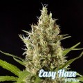 Easy Haze (Philosopher Seeds)