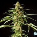 Philo Skunk (Philosopher Seeds)
