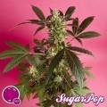 SugarPop (Philosopher Seeds)