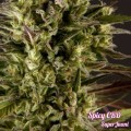 Spicy CBD (Philosopher Seeds)