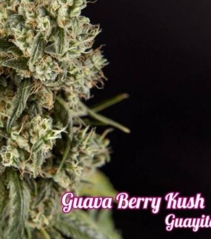 Guava Berry Kush (Philosopher Seeds)