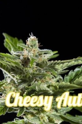 Cheesy Autoflowering