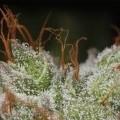 Amnesia Haze (Daily Smoker)