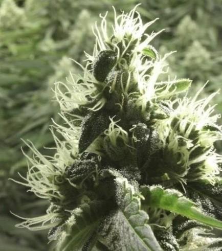 Rollex OG Kush (Devil's Harvest)