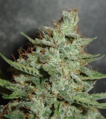 Super Crystal (Homegrown Fantaseeds)