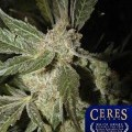 White Panther (Ceres Seeds)