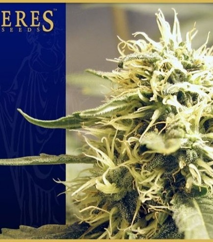 Ceres Kush (Ceres Seeds)