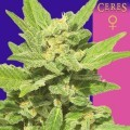 Lemonesia (Ceres Seeds)