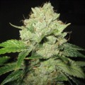 Cal-Train Wreck (Sagarmatha Seeds)
