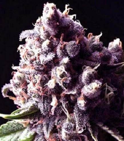 Purple Pinecone (Sagarmatha Seeds)