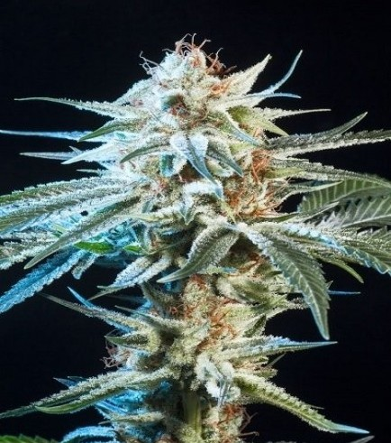 Honey Bananas (Elemental Seeds)