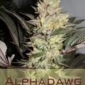 Alphadawg (Alphakronik Genes)