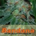 Bandana (Alphakronik Genes)