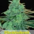 Cheddarhead (Alphakronik Genes)