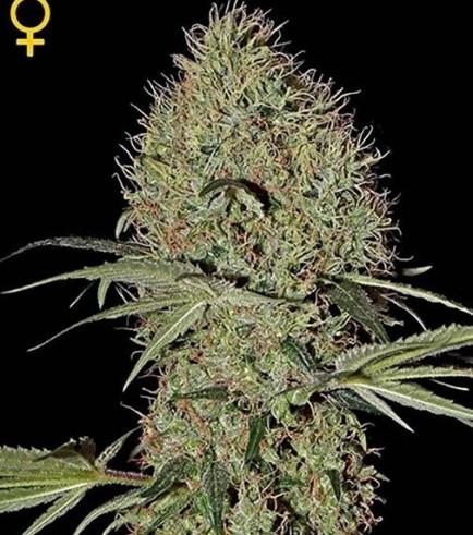Super Bud Autoflowering (Greenhouse Seeds)