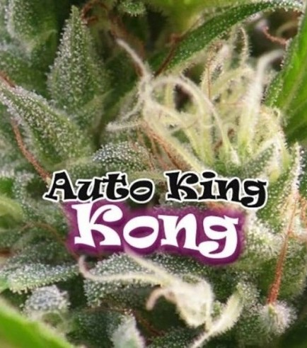 Auto King Kong (Dr. Underground)