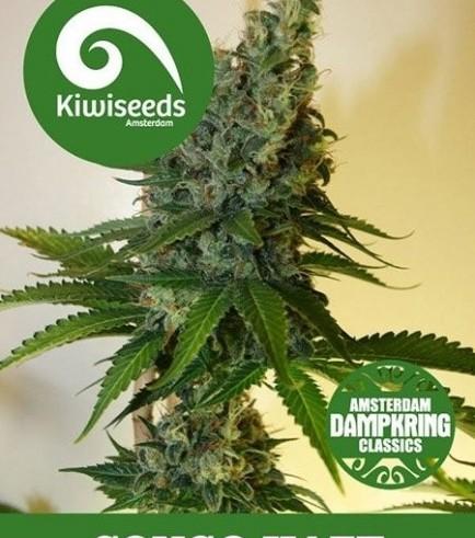 Congo Haze (Kiwi Seeds)