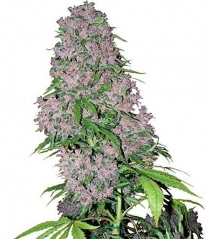 Purple Bud (White Label)