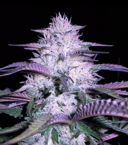 Currant Kush (VIP Seeds)