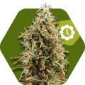 Green AK XL Autoflowering (Zambeza)