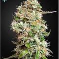 King's Kush Autoflowering CBD (Greenhouse Seeds)