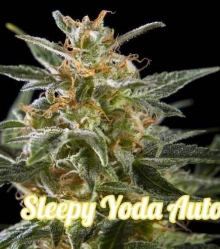 Sleepy Yoda Auto (Philosopher Seeds)