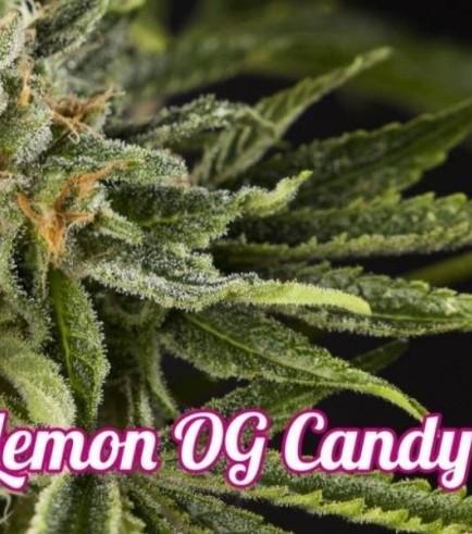 Lemon OG Candy (Philosopher Seeds)