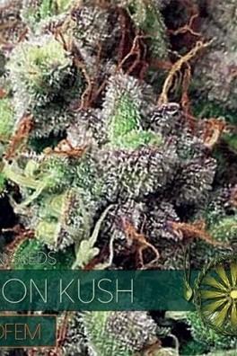 Vision Kush Autoflowering