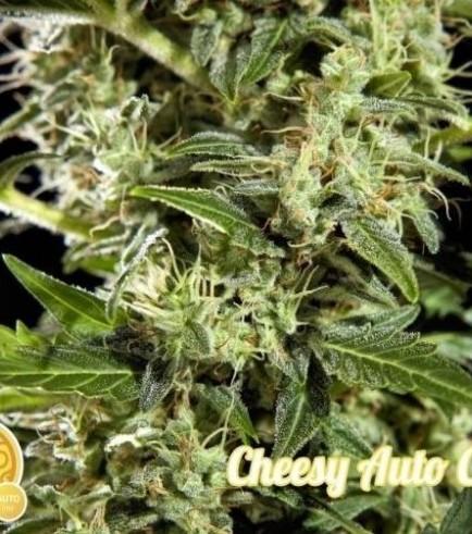 Cheesy Auto CBD (Philosopher Seeds)