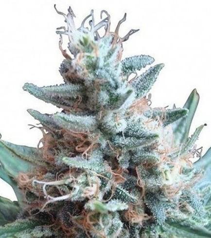Sweet Candy (Zativo Seeds)