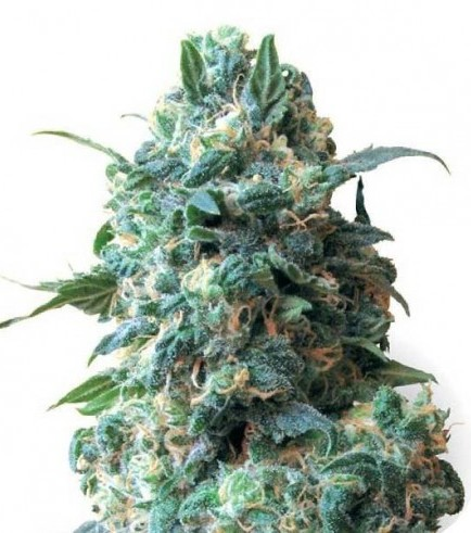 Critical (Sensation Seeds)