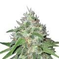 Amnesia Haze (Sensation Seeds)