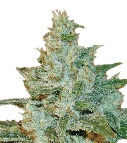 AK-47 (Sensation Seeds)