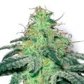 White Widow (Sensation Seeds)