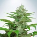 Auto CBD Star (Ministry of Cannabis)