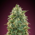 Amnesia (Advanced Seeds)