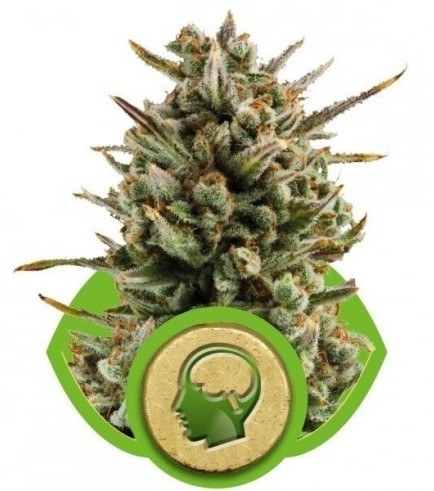 Amnesia Haze Autoflowering (Royal Queen Seeds)