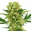 Amnesia Haze Autoflowering (Sensation Seeds)