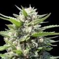 Northern Lights Autoflowering (Genehtik Seeds)