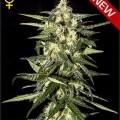 Jack Herer Autoflowering (Greenhouse Seeds)